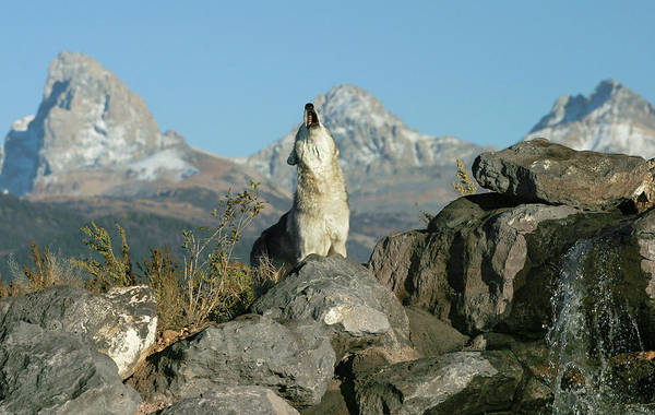 Photograph - Morning Howl by Ronnie and Frances Howard