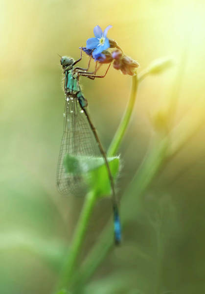 Nature Wall Art - Photograph - Morning Impression With Blue Dragonfly by Jaroslaw Blaminsky