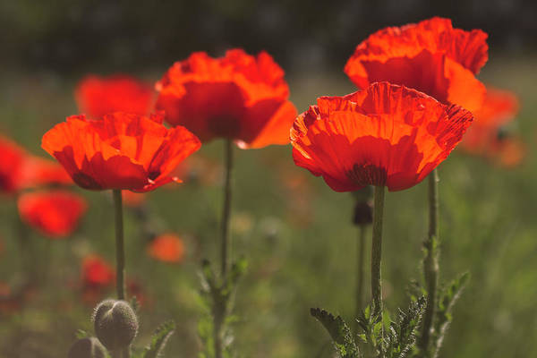 Photograph - Morning Light In The Poppies by Teri Virbickis