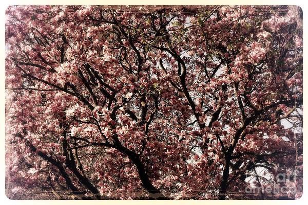 Photograph - Morning Light Magnolia - Border by Frank J Casella