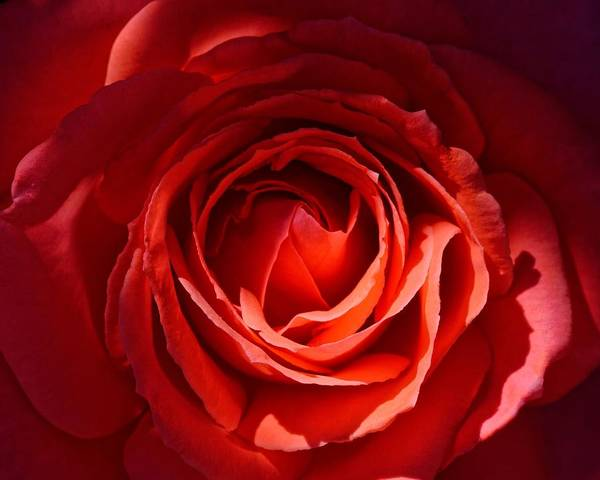 Photograph - Morning Light - Rose by KJ Swan