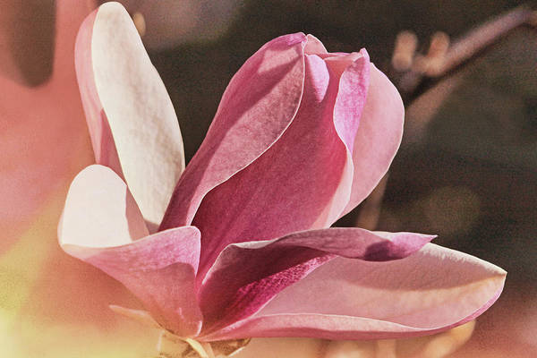 Photograph - Morning Magnolia Flare by Theo O'Connor