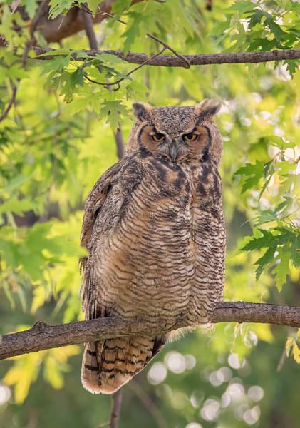 Photograph - Morning Owl by Loree Johnson