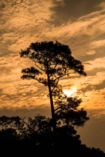 Photograph - Morning Pine At Currituck by Don Johnson