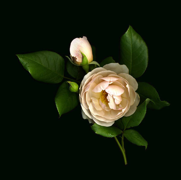 Photograph - Morning Rose Buds by Deborah J Humphries