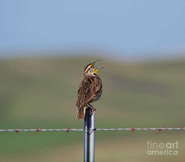 Morning Song Wall Art - Photograph - Morning Song Of A Meadowlark by Jeff Swan