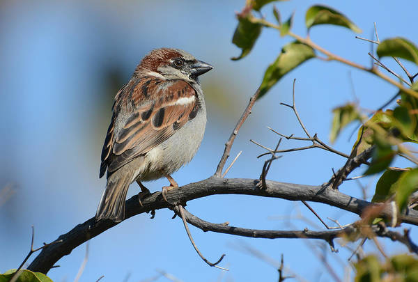 House Sparrow Photograph - Morning Sparrow by Fraida Gutovich