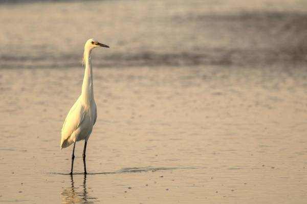 Photograph - Morning Sun Caress A Snowy Egret by Carol Montoya