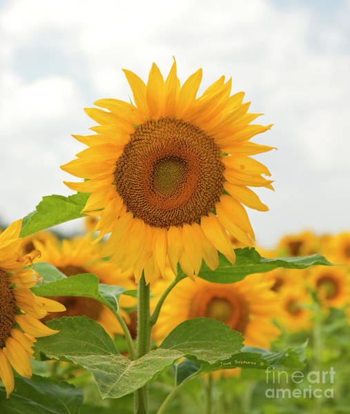 Wall Art - Photograph - Morning Sunflower Greeting by John Stephens