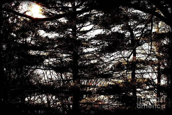 Photograph - Morning Sunlight Through The Pines by Frank J Casella