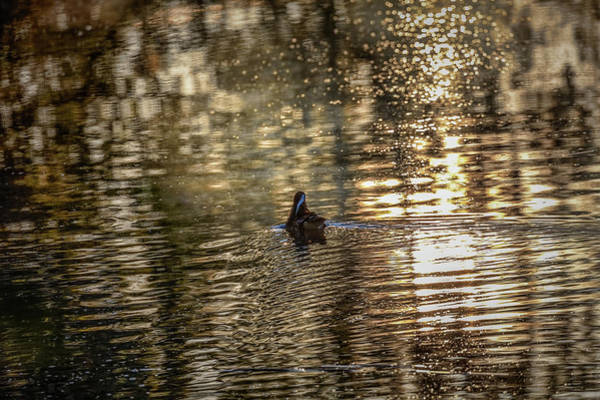 Photograph - Morning Swim #h5 by Leif Sohlman