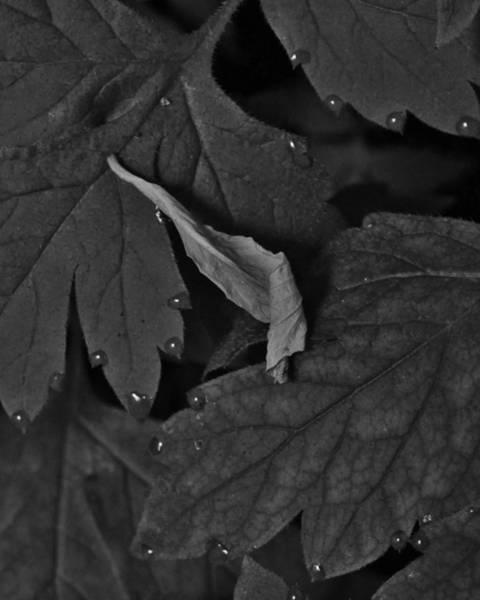 Photograph - Mornings Leaf by Charles Lucas
