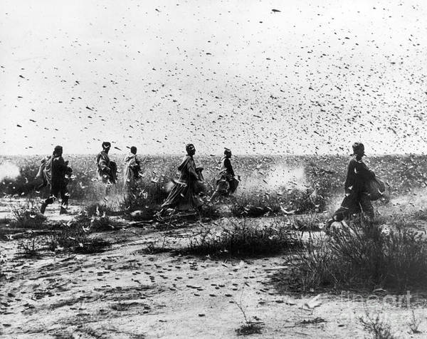 Photograph - Morocco: Locusts, 1954 by Granger