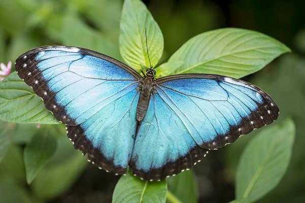 Wall Art - Photograph - Morpho Butterfly by Oscar Gutierrez