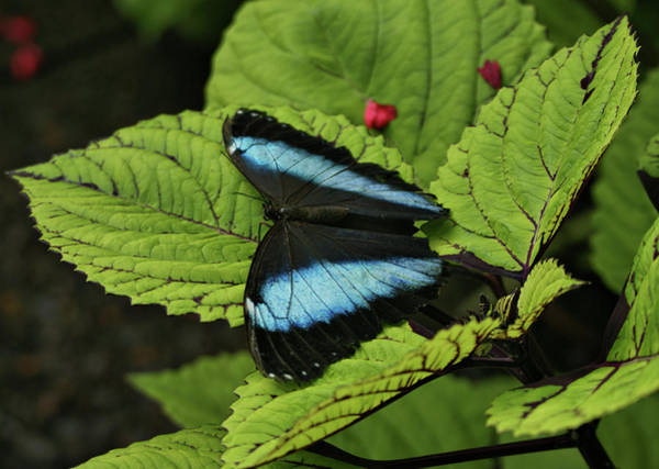 Photograph - Morpho Butterfly by Sandy Keeton