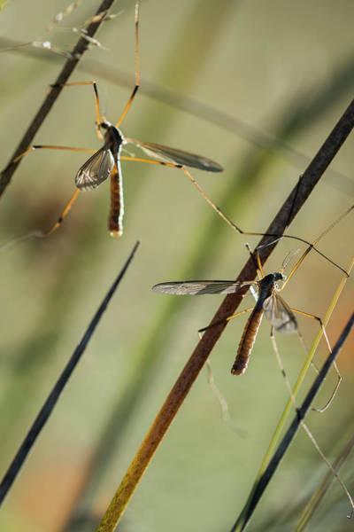Photograph - Mosquito Hawks by Robert Potts
