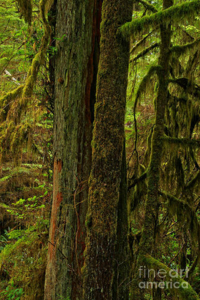 Photograph - Moss Covered Giant by Adam Jewell