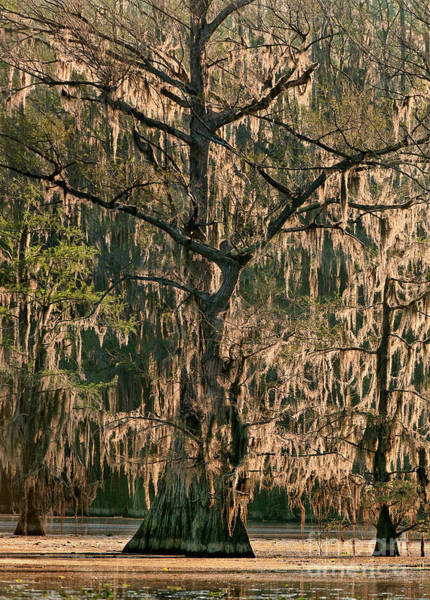 Photograph - Moss Draped Cypress Caddo Lake Texa by Dave Welling