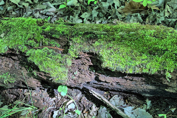 Photograph - Moss On A Log 2 by Richard Goldman