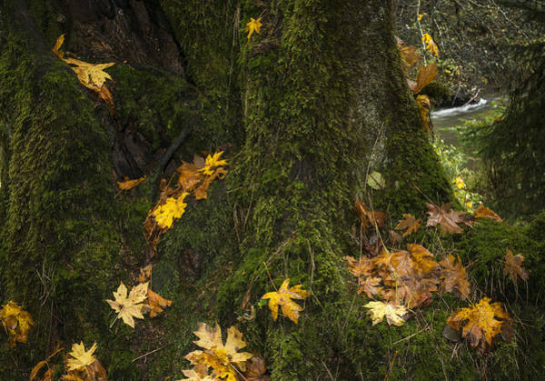 Photograph - Mossy Maple Tree by Robert Potts