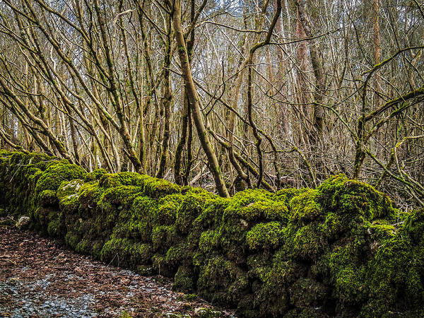 Photograph - Mossy Rock Fence In Coole Park Wood by James Truett