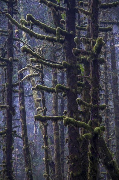 Photograph - Mossy Spruce Trees by Robert Potts