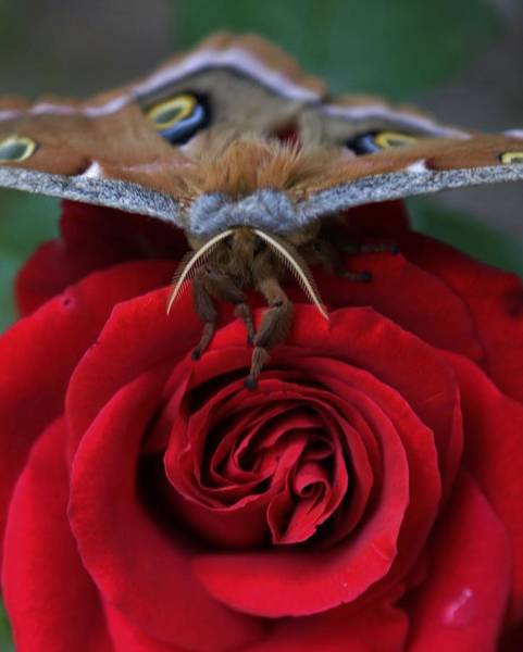 Photograph - Moth And The Rose by Charles Lucas