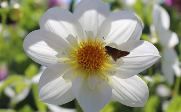 Photograph - Moth On A Flower  by Christy Pooschke