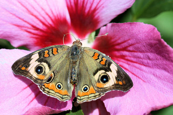 Photograph - Buckeye Butterfly On Hibiscus by Kristin Elmquist