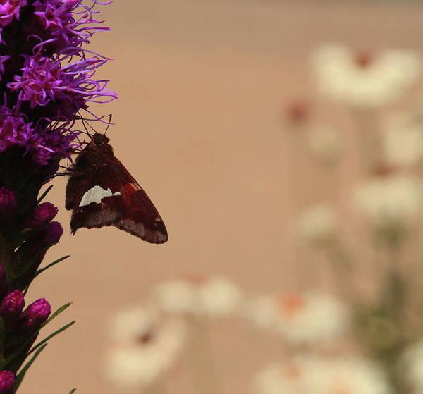 Liatris Spicata Photograph - Moth On Liatris 2 by Cathy Lindsey