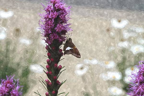 Liatris Spicata Photograph - Moth On Liatris 3 by Cathy Lindsey