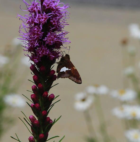 Liatris Spicata Photograph - Moth On Liatris by Cathy Lindsey