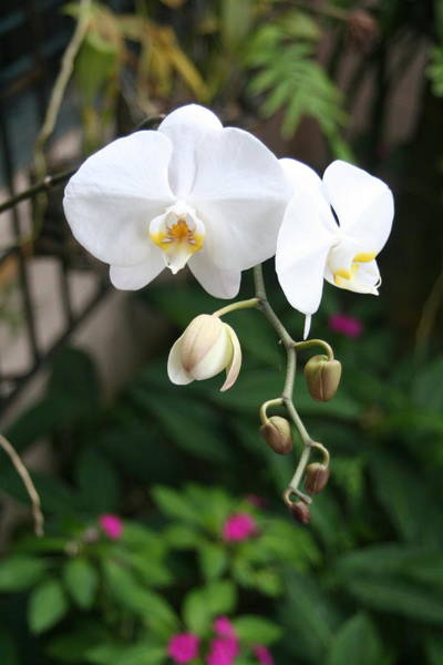 Photograph - Moth Orchids by The Art of Alice Terrill