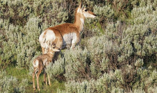 Photograph - Mother And Baby Antelope by Dan Sproul