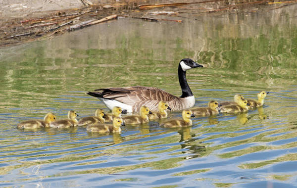 Photograph - Mother And Baby Canada Geese by Michael Chatt