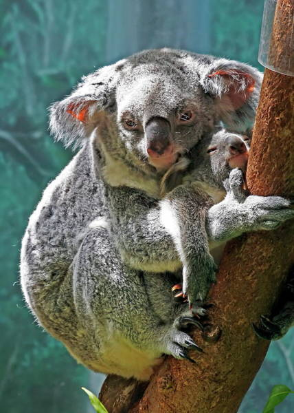 Nfs Photograph - Mother And Baby Koalas by Daniel Caracappa