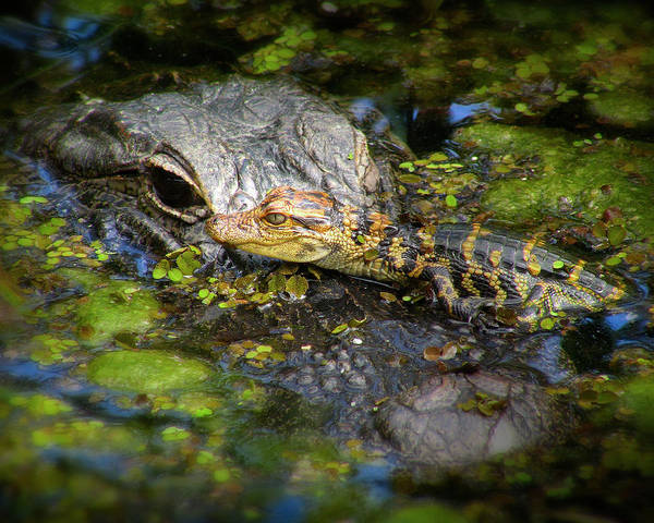 Gator Photograph - Mother And Baby by Mark Andrew Thomas