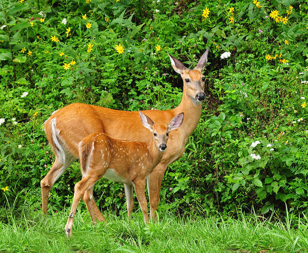 Photograph - Mother And Baby  White-tailed  Deer by Lara Ellis