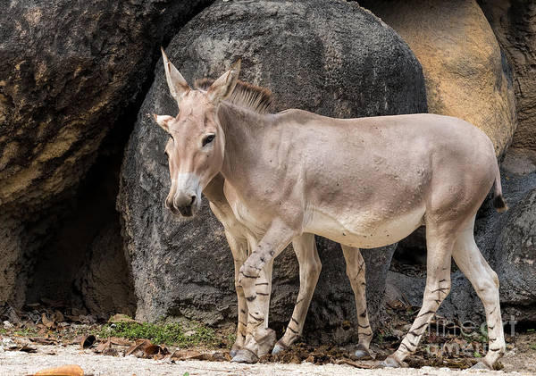 Photograph - Mother And Son - Wild Somali Ass by Les Palenik