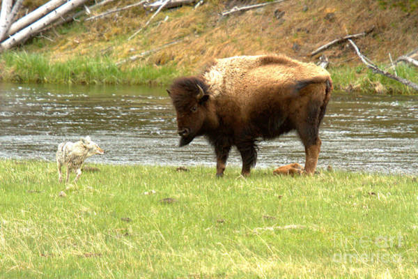 Photograph - Mother Bison Protecting The Newborn by Adam Jewell