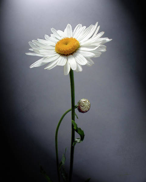Photograph - Mother Daisy by Ann Lauwers