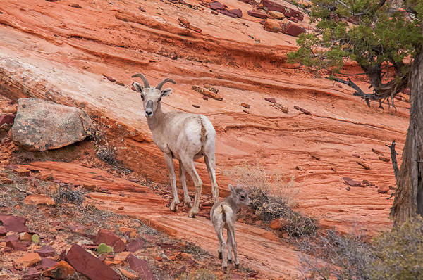 Wall Art - Photograph - Mother Desert Bighorn Ewe With Lamb by Rich Leighton