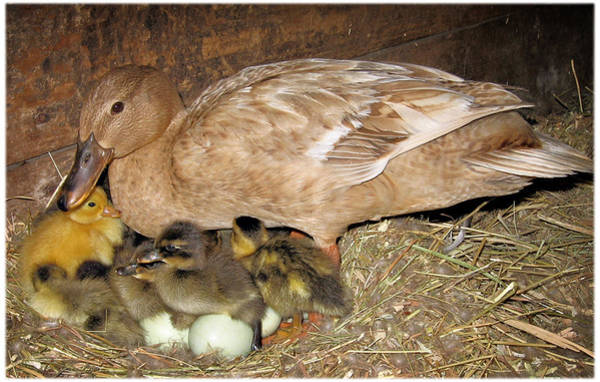 Wall Art - Photograph - Mother Duck Hatches Ducklings by Laurie With