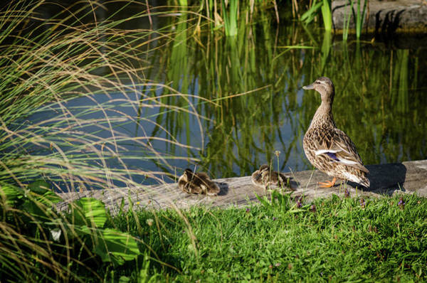 Photograph - Mother Duck Is Watching by Miguel Winterpacht