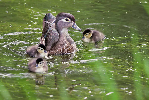 Photograph - Mother Duck by Tatiana Travelways