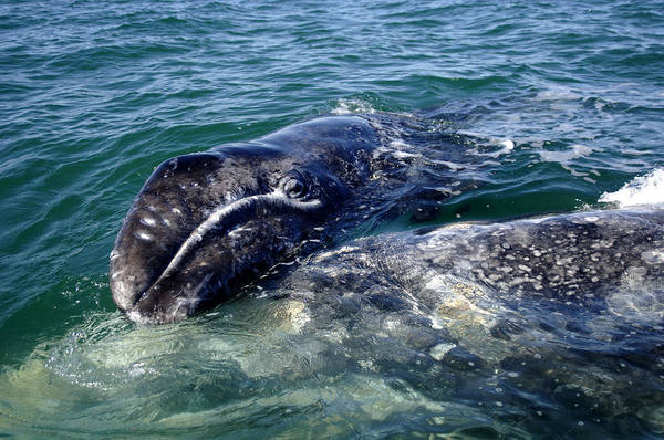 Photograph - Mother Grey Whale And Baby Calf by David Shuler