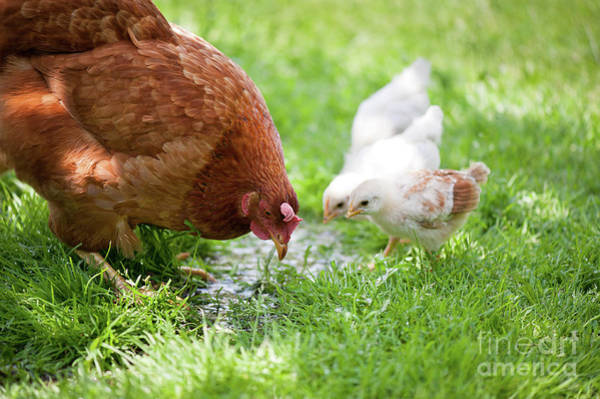 Wall Art - Photograph - Mother Hen Teaching Chicklings How To Drink Water by Arletta Cwalina
