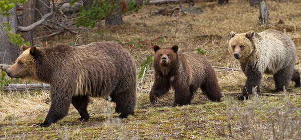 Grizzly Bears Photograph - Mother Knows Best by Sandy Sisti