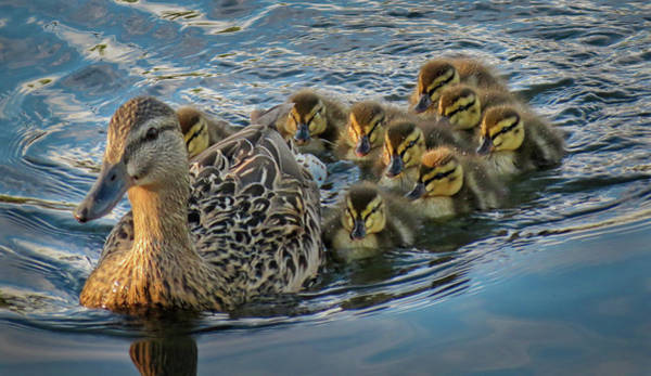 Photograph - Mother Mallard Plus Nine by Patti Deters