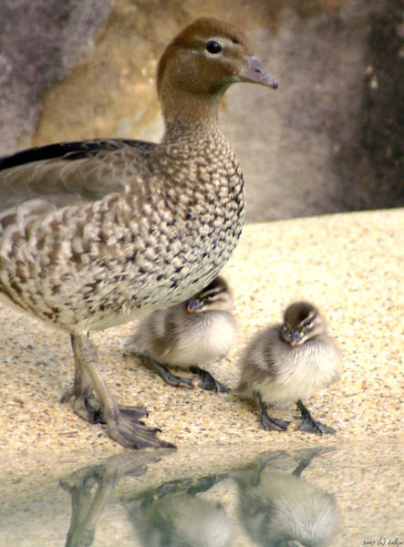 Duckling Photograph - Mother Of Twins by Holly Kempe